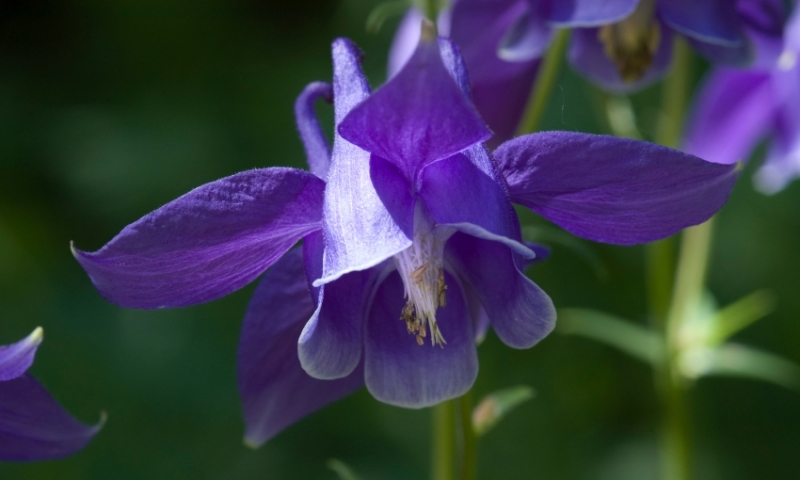 Purple Columbine in Betty Ford Alpine Gardens