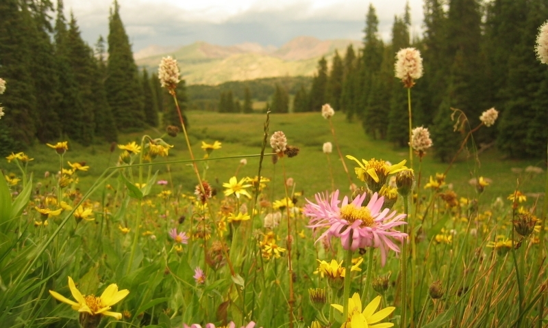 Vail Pass Colorado Wildflowers