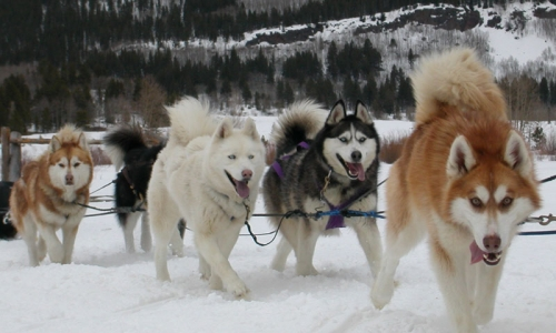 Dog Sledding Vail Colorado